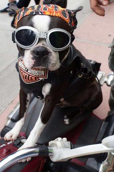 Harley Davidson Dog Dressed Up